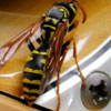 Yellow Jacket - Photo